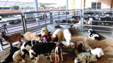سوق المواشي في دبي